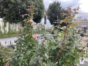 2020.11花壇バラ